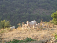 Mucche ragusane